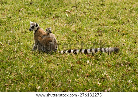 Mother and baby ring-tailed lemurs (Lemur Catta, Maki mococo) in their natural environment. - stock photo