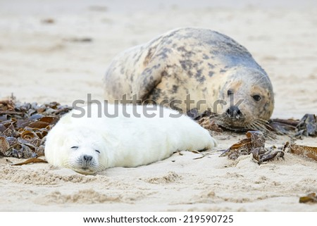 Mother and baby seal on the beach - stock photo