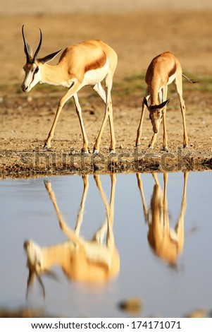 Mother and baby springbuck walking by water with reflection, Kalahari, South Africa - stock photo