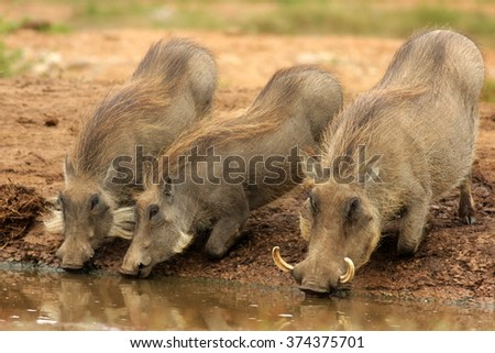 Mother and baby warthog drinking in this portrait from Addo Elephant Park, Eastern Cape,South Africa - stock photo