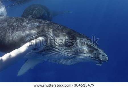 MOTHER AND CALF HUMPBACK WHALE SWIMMING IN SURFACE - stock photo