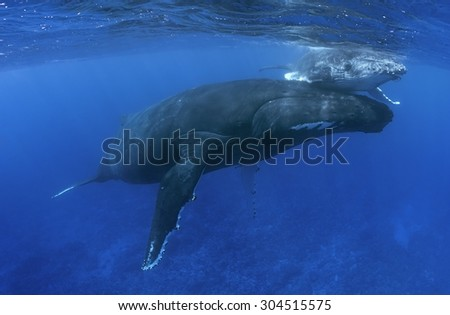 MOTHER AND CALF HUMPBACK WHALE SWIMMING ON SURFACE