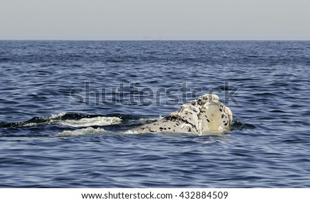 Mother and calf southern right whales swimming on the surface off the coast of Cape Town South Africa. - stock photo