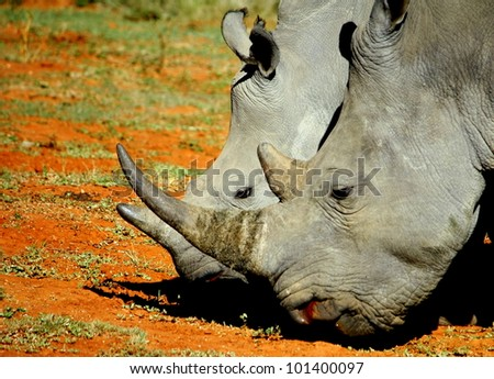Mother and calf white rhino / rhinoceros show off their horns in the Eastern Cape, South Africa