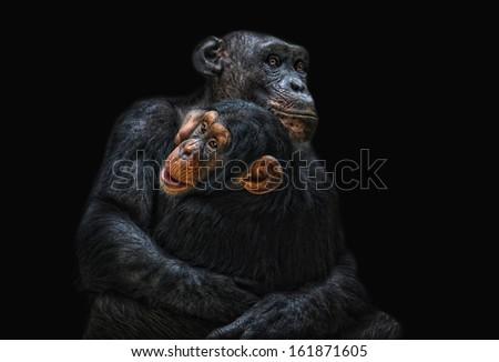 mother and child, chimpanzee - stock photo