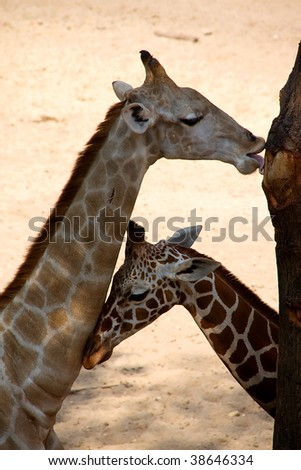 mother and child giraffe in zoo - stock photo