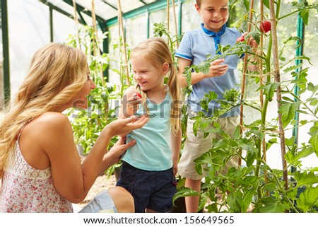 Mother And Children Harvesting Tomatoes In Greenhouse - stock photo