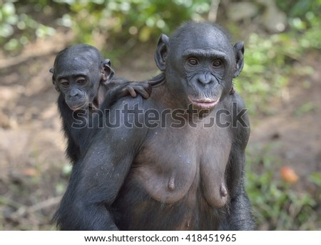 Mother and Cub of chimpanzee Bonobo (Pan paniscus). Democratic Republic of Congo. Africa - stock photo