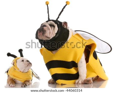 mother and daughter bulldogs dressed up like bees - stock photo