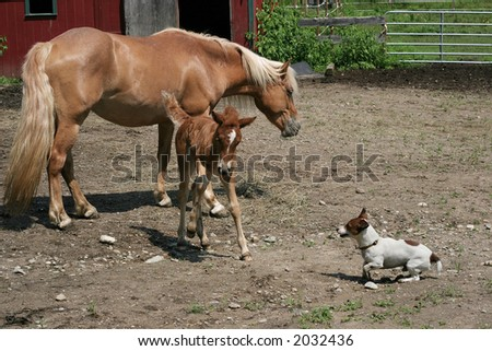 mother and filly haflinger horses and jack russell terrier dog