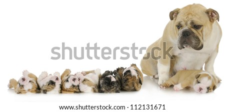 mother and her puppies - english bulldog mother with her puppies - stock photo