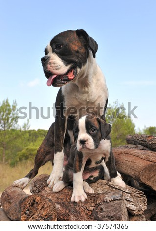 mother and her puppy purebred german boxer
