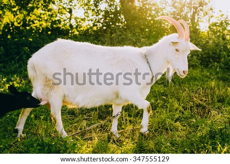 Mother and kid goats on a green lawn at summer