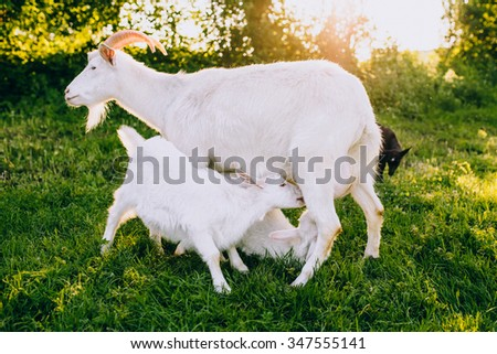Mother and kids goats on a green lawn at summer