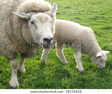 Mother and Lamb Grazing - stock photo