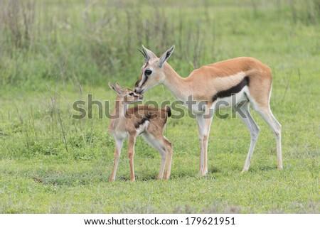 Mother and newborn Thompson's Gazelle in Ngorongoro Crater, Tanzania - stock photo