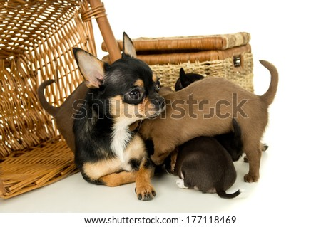 Mother and puppies chihuahua on a background of baskets isolated - stock photo