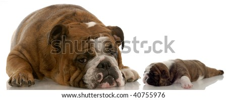 mother and puppy - english bulldog mom and three week old puppy - stock photo