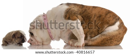 mother and puppy - english bulldog mom cleaning three week old puppy - stock photo