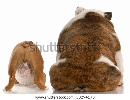 mother and puppy english bulldog viewed from the backside with reflection on white background - stock photo