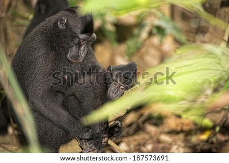 Mother and son Celebes Sulawesi crested black macaque portrait