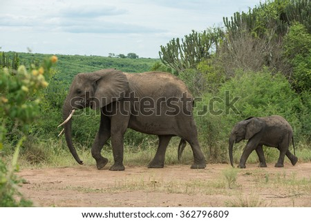 Mother and young, African Elephant, Queen Elizabeth National Park, Uganda