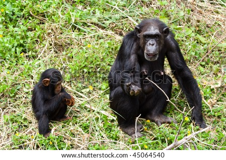 Mother and young chimpanzee are begging some feed. - stock photo