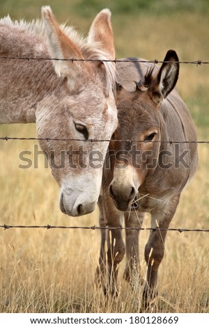 Mother and young donkey in scenic Saskatchewan - stock photo