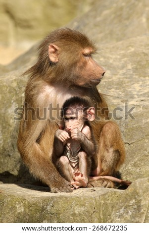 Mother baboon with baby - stock photo