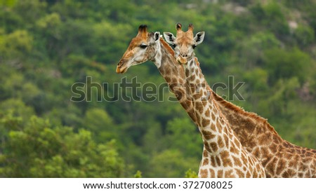 Mother & Baby Giraffe - stock photo