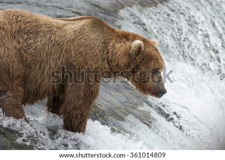 Mother Bear catching Salmon at the top of the falls while keeping an eye on her 3 cubs who impatiently (and hungrily) wait for their meal - Brook Falls - Alaska