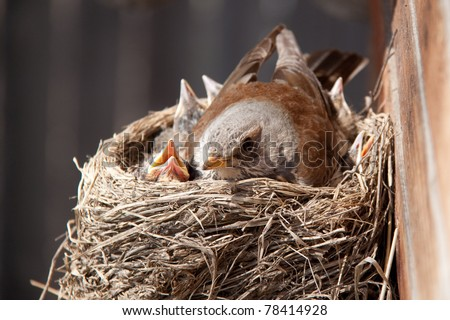 Mother-bird with cheepers in the nest - stock photo