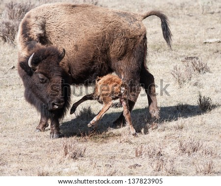Mother bison and her new born calf eating. - stock photo