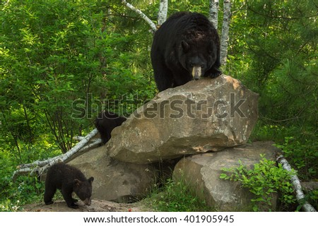 Mother Black Bear (Ursus americanus) and Cubs at Rock Den - captive animals