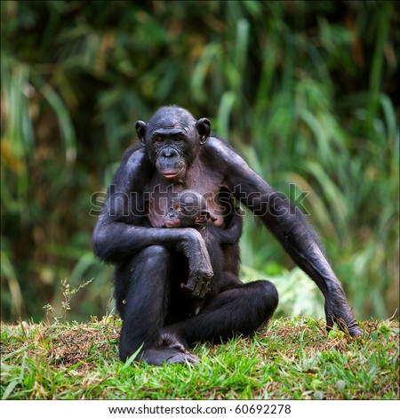 Mother-Bonobo with a cub on hands sits on a green grass.