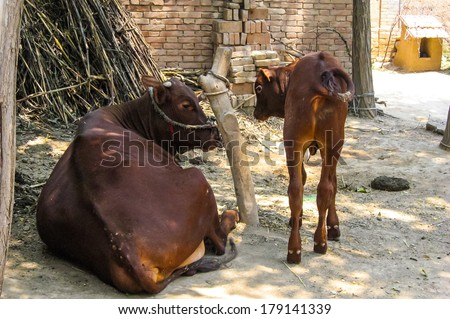 Mother brown cow with calf, taken in China - stock photo