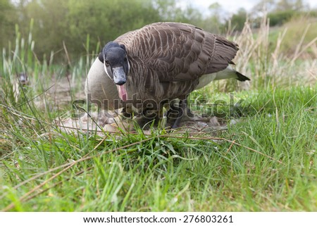 Mother Canada Goose guarding nest of gosling chicks. - stock photo