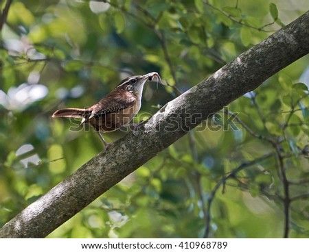 Mother Carolina Wren with insect in her beak rests on branch in spring woodland setting, closeup. State bird of South Carolina, they mate for life.
