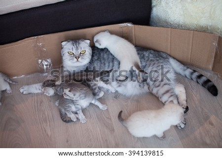 Mother cat kitten . Cat hugs kitten and presses his face to the kitten. Cat tightly holding the baby kitten. The cat is gray, fluffy. The kitten is small. Family of cats. - stock photo