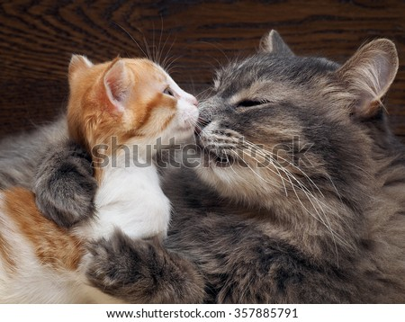 Mother cat kitten kisses. Cat hugs kitten and presses his face to the kitten. Cat tightly holding the baby kitten. The cat is gray, fluffy. The kitten is small, white and red. Family of cats. - stock photo