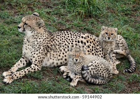 Mother cheetah on the lookout with two young cubs - stock photo