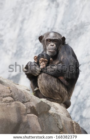 Mother Chimpanzee and her baby chimp - stock photo