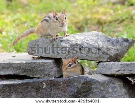 Mother chipmunk with cute baby on a slate rock wall