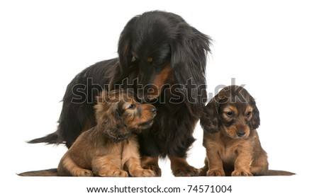 Mother Dachshund, 4 years old, and her puppies, 5 weeks old, in front of white background - stock photo