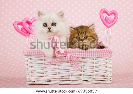 Mother Day Valentine Chinchilla kittens inside white basket - stock photo