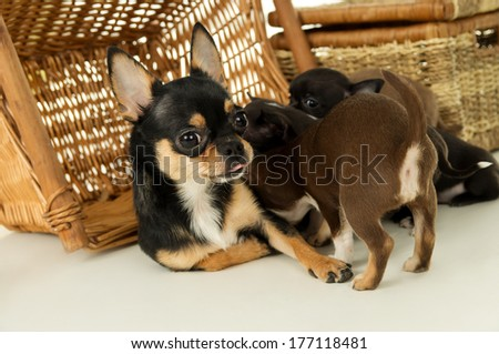 Mother dog feeding chihuahua puppies - stock photo