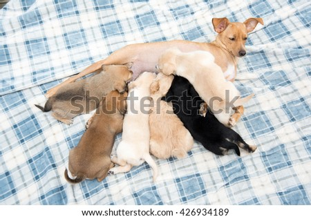 Mother Dog Nursing Her One Month Old Puppies Outside on Plaid Blanket