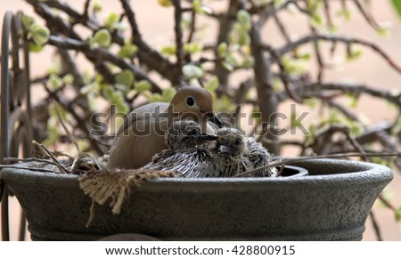Mother Dove with Two Newborn Chicks