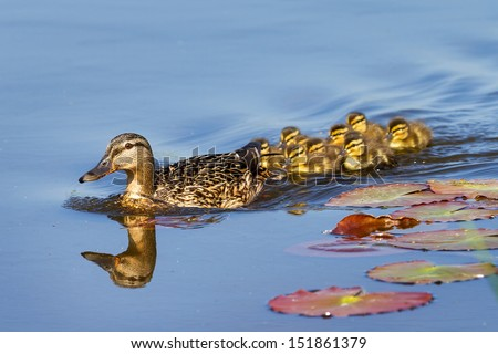 Mother Duck (Anas platyrhynchos) with her new born offspring in the Netherlands in spring - stock photo