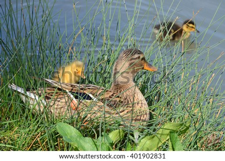 mother duck and ducklings in the pond - stock photo